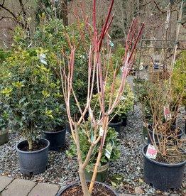 J. Frank Schmidt Acer circinatum 'Pacific Fire'  #5