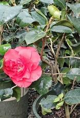 Camellia j. 'Kramer's Supreme' #5