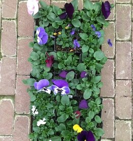 Squak Mtn Pansy and Viola Mix: 1 Flat (18 Ct) Grower's Choice of Colors