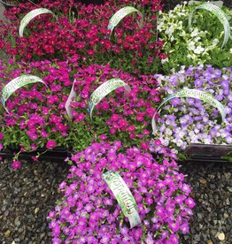 Aubretia 9 Plants - Rock Cress