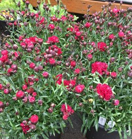 Dianthus Suptroup Butterfly Dark Red