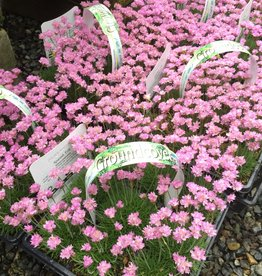 Armeria 9 Plants - Pink Sea Thrift