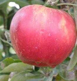Biringer Nursery Apple 'Akane'