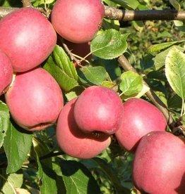 Biringer Nursery Apple 'Enterprise'