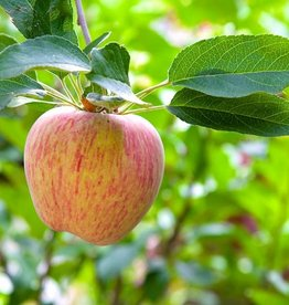 Biringer Nursery Apple 'Gravenstein'
