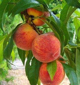 Biringer Nursery Peach 'Frost'