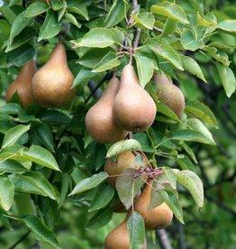 Biringer Nursery Pear 'Bosc'