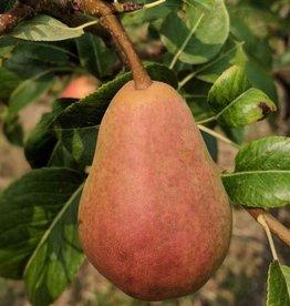Biringer Nursery Pear 'Rescue'