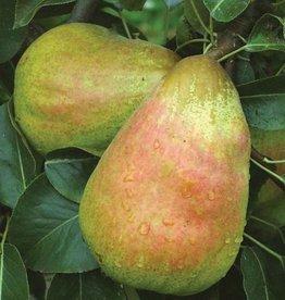 Biringer Nursery Pear 'Bartlett'