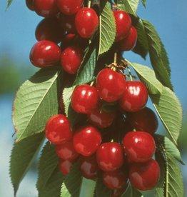 Biringer Nursery Cherry 'Early Burlat'
