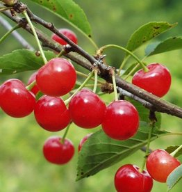 Biringer Nursery Cherry 'Montmorency'