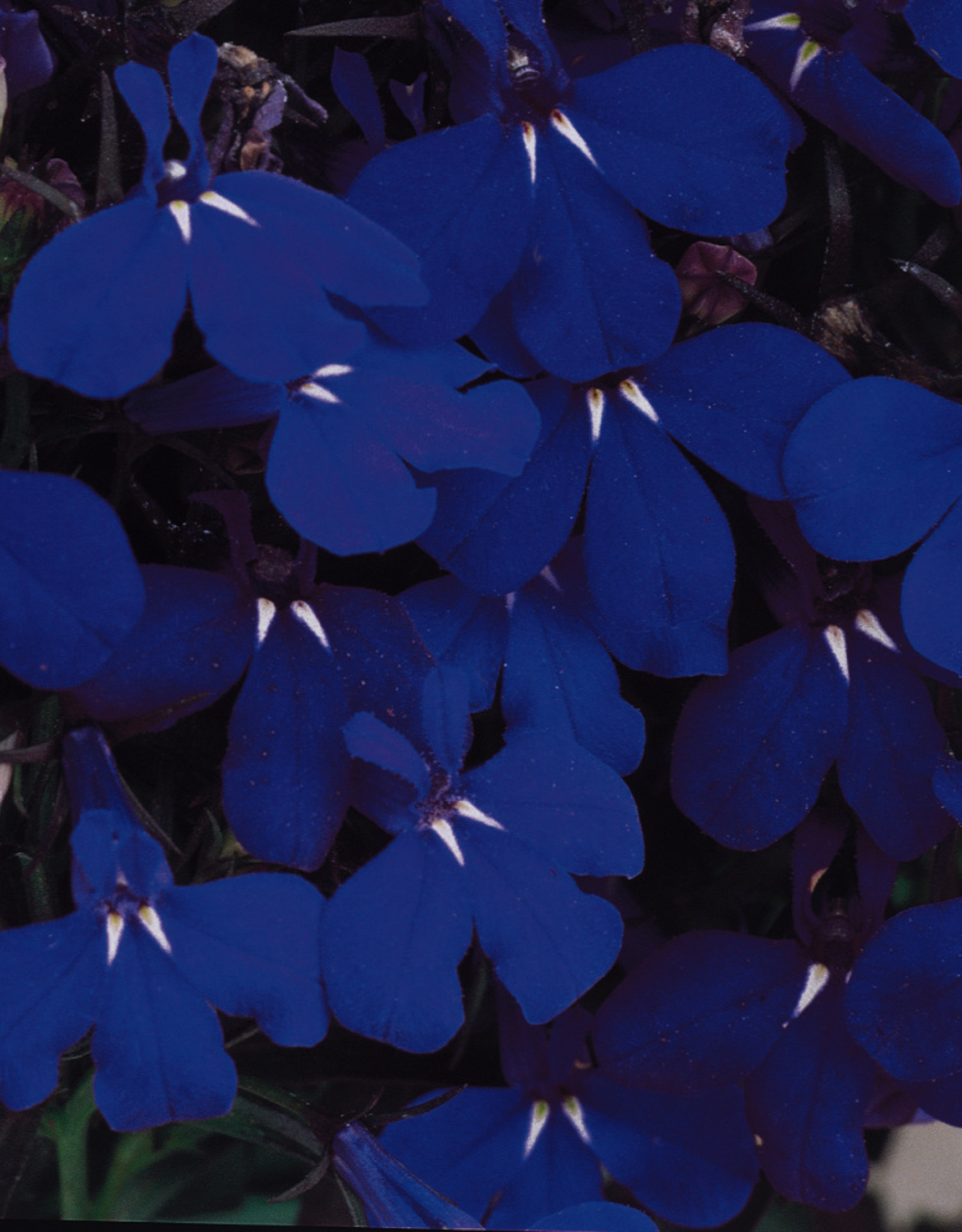 Squak Mtn Lobelia 'Riveria Midnight Blue' Jumbo Pack