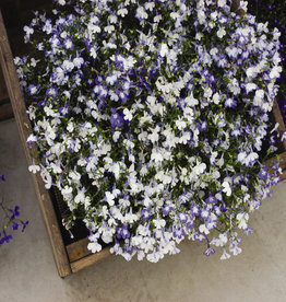 Squak Mtn Lobelia 'Regatta Sky Blue' Jumbo Pack