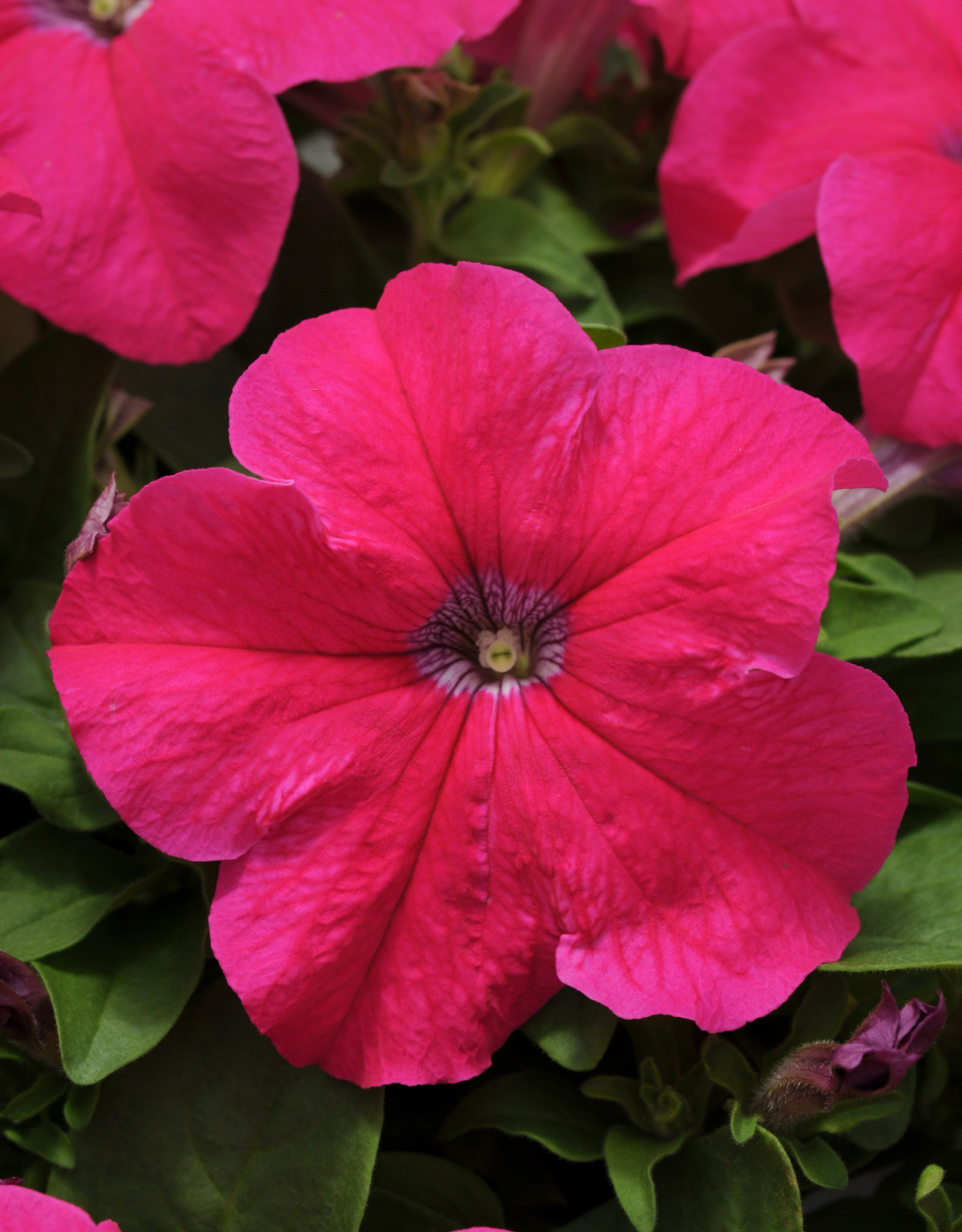 Squak Mtn Petunia 'Pretty Grand Rose' Pack
