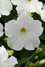 Squak Mtn Petunia 'Pretty Grand White' Pack