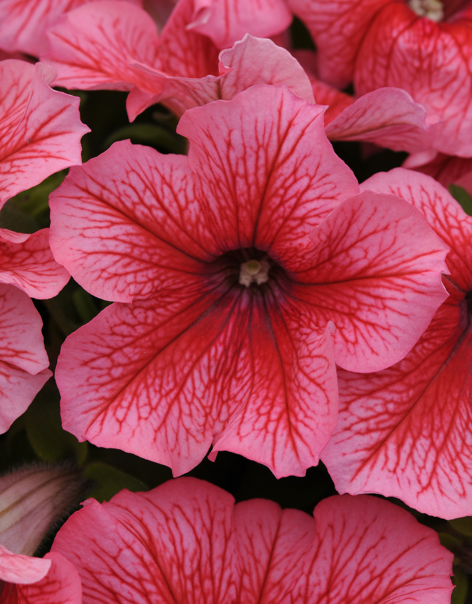 Squak Mtn Petunia 'Pretty Grand Summer' Pack