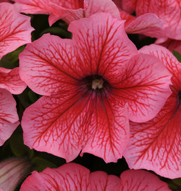 Squak Mtn Petunia 'Pretty Grand Summer' Pack