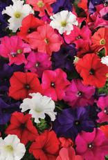 Squak Mtn Petunia 'Pretty Grand Mix' Pack