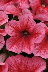 Squak Mtn Petunia 'Pretty Grand Summer' Jumbo Pack