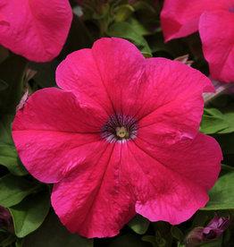 Squak Mtn Petunia 'Pretty Grand Rose' Jumbo Pack