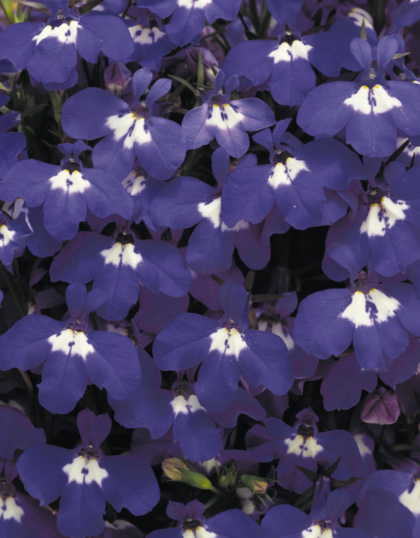 Squak Mtn Lobelia 'Riviera Blue Eyes' Jumbo Pack