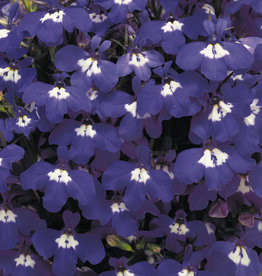 Squak Mtn Lobelia 'Riviera Blue Eyes' Jumbo Pack