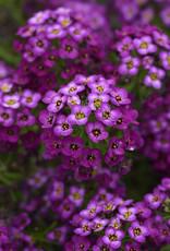"Squak Mtn Lobularia 'Easy Breezy Purple' 4"" Pot"