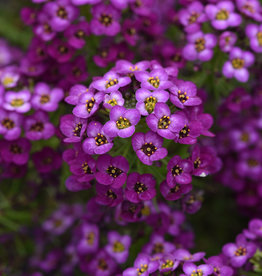 "Squak Mtn Lobularia 'Easy Breezy Purple' 4"" Pot"