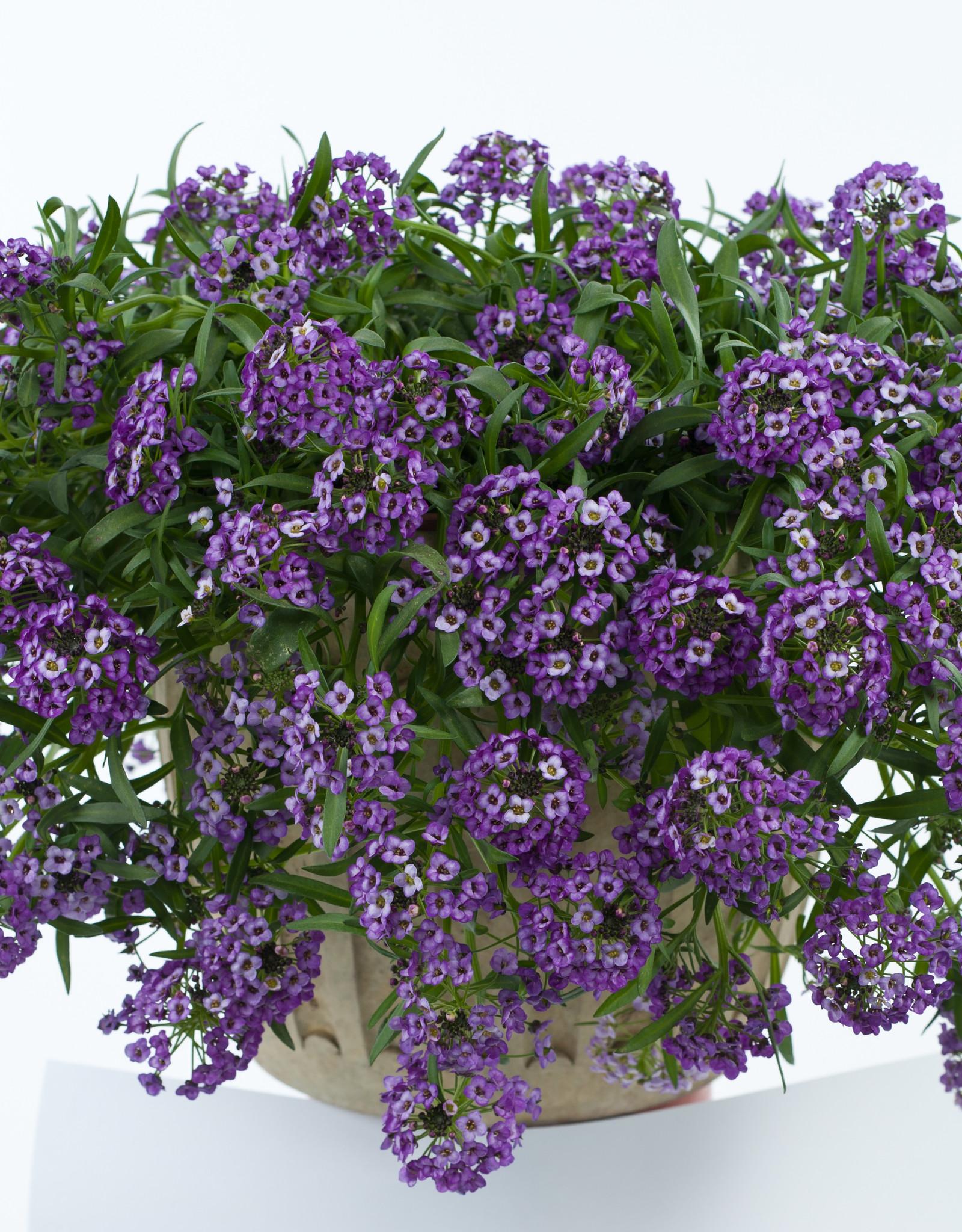 """Squak Mtn Lobularia 'Lavender Stream' 4"""" Pot"""