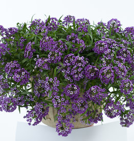 "Squak Mtn Lobularia 'Lavender Stream' 4"" Pot"