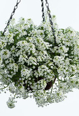 """Squak Mtn Lobularia 'White Stream' 4"""" Pot"""