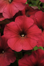 "Squak Mtn Petunia 'Easy Wave Berry Velour' 4"" Pot"