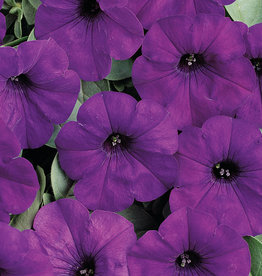 "Squak Mtn Petunia 'Easy Wave Blue' 4"" Pot"