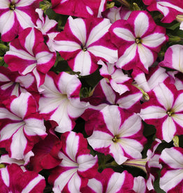 "Squak Mtn Petunia 'Easy Wave Burgundy Star' 4"" Pot"