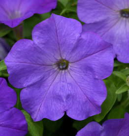 "Squak Mtn Petunia 'Easy Wave Lavendar Sky Blue' 4"" Pot"