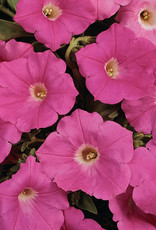 "Squak Mtn Petunia 'Easy Wave Pink' 4"" Pot"