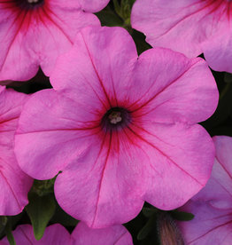 "Squak Mtn Petunia 'Easy Wave Pink Passion' 4"" Pot"