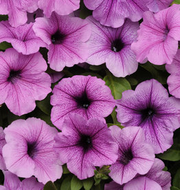 "Squak Mtn Petunia 'Easy Wave Plum Vein' 4"" Pot"