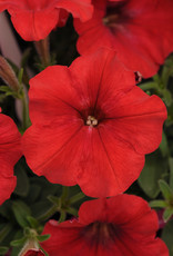 "Squak Mtn Petunia 'Easy Wave Red' 4"" Pot"