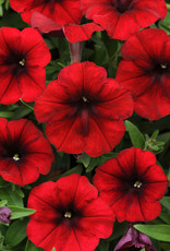"Squak Mtn Petunia 'Easy Wave Red Velour' 4"" Pot"