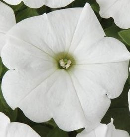 "Squak Mtn Petunia 'Easy Wave White' 4"" Pot"