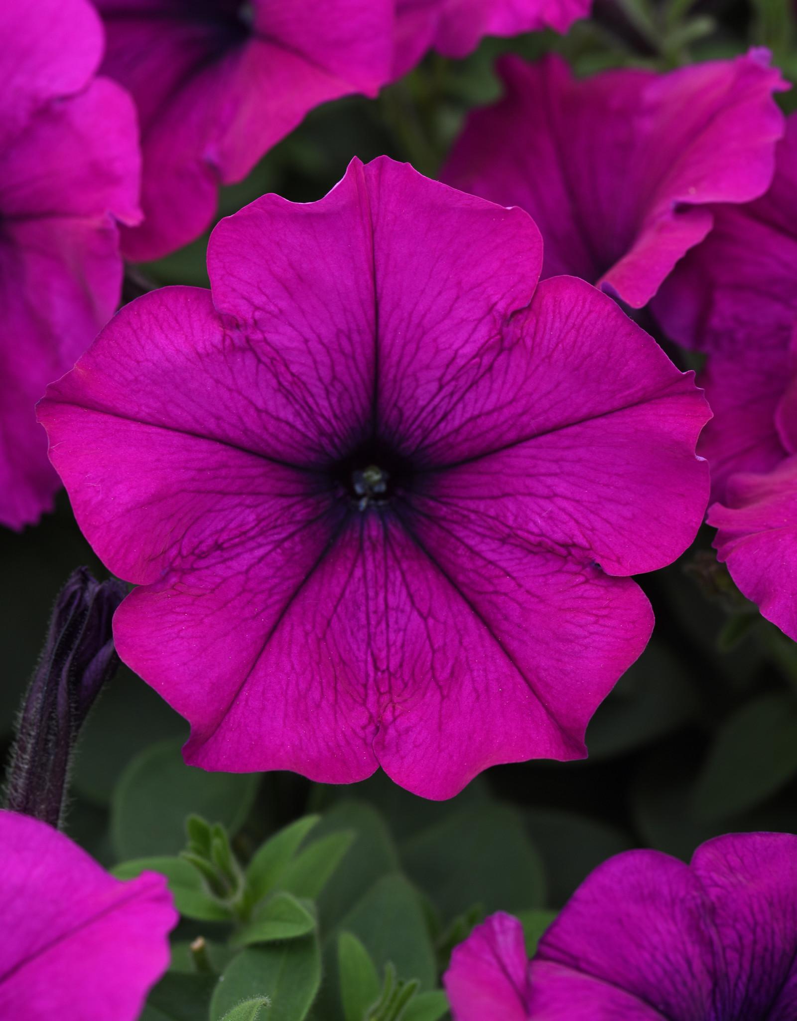 """Squak Mtn Petunia 'Easy Wave Violet' 4"""" Pot"""
