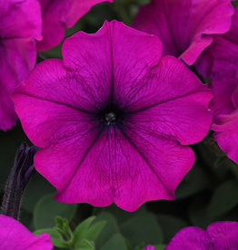 "Squak Mtn Petunia 'Easy Wave Violet' 4"" Pot"