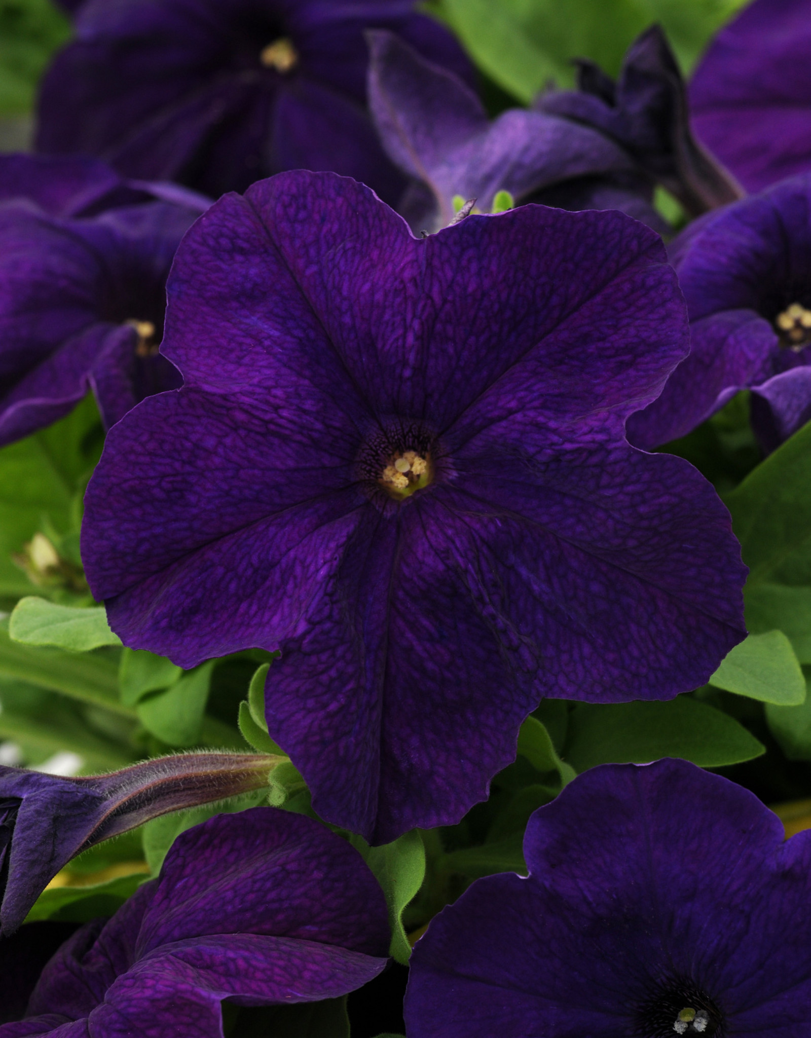 Squak Mtn Petunia 'Pretty Grand Midnight' Jumbo Pack