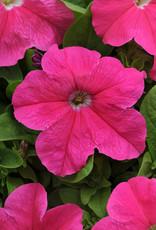Squak Mtn Petunia 'Pretty Grand Deep Pink' Jumbo Pack