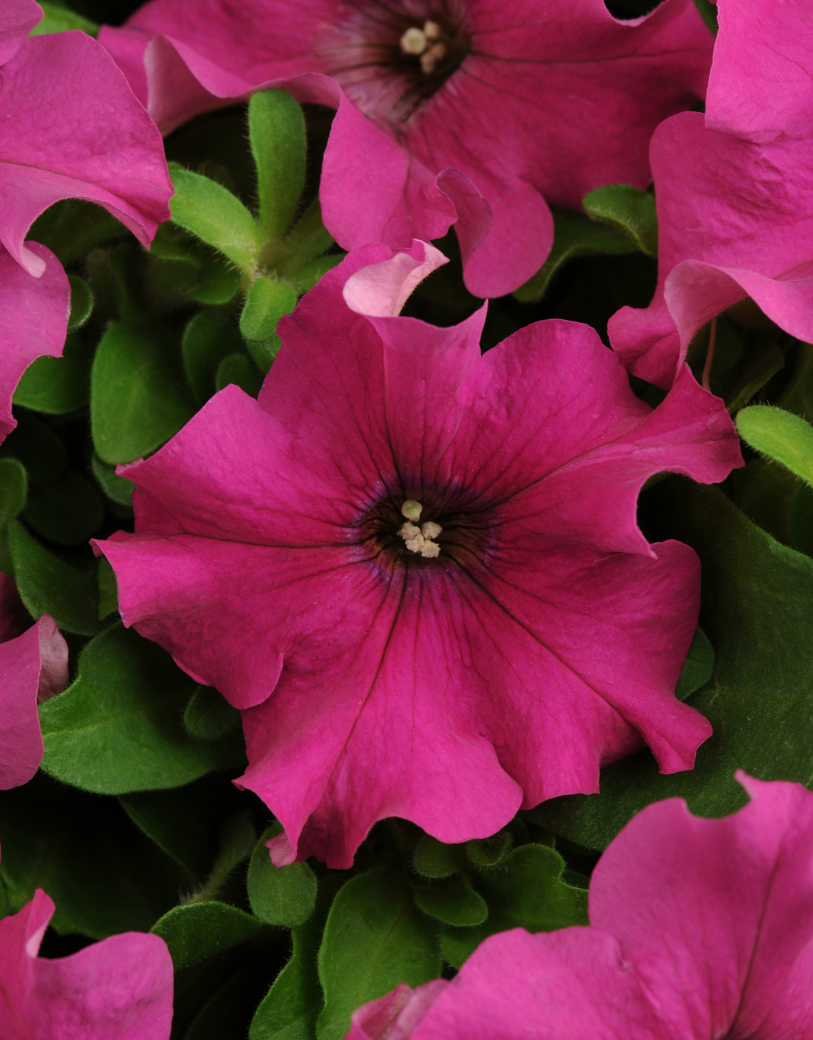 Squak Mtn Petunia 'Pretty Grand Purple' Jumbo Pack