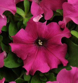 Squak Mtn Petunia 'Pretty Grand Purple' Jumbo Pack