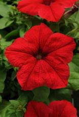 Squak Mtn Petunia 'Pretty Grand Red' Jumbo Pack
