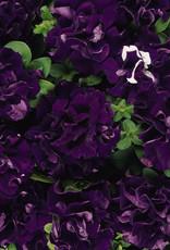 Squak Mtn Petunia 'Blue Double Cascade Mix' Jumbo Pack