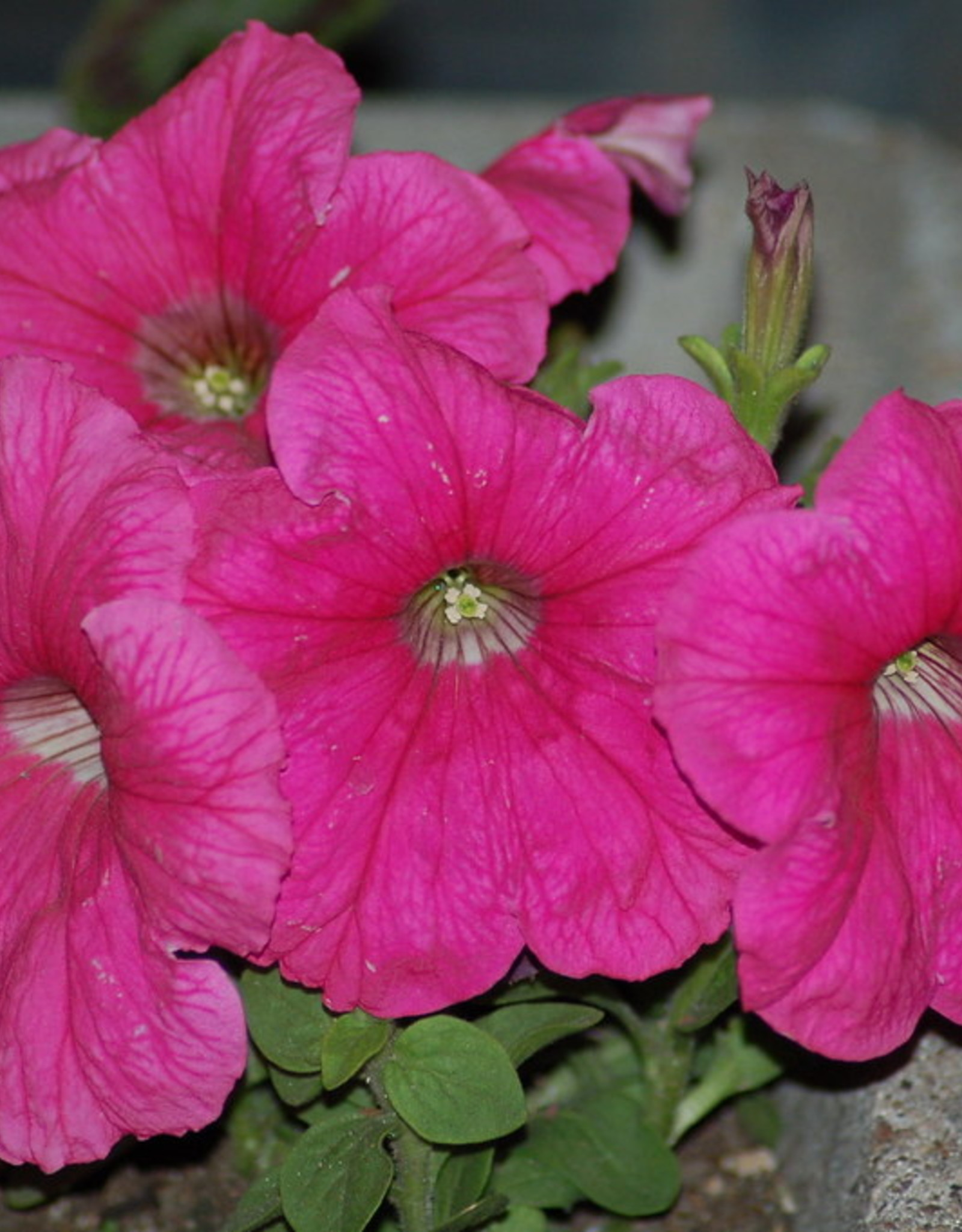 "Squak Mtn Petunia Easy Wave Neon Rose' 4"" Pot"
